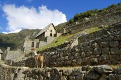 Machu Picchu lama - Peru Zdjęcie Stock