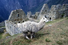 Machu Picchu and lama, Peru. Inca Ruins Machu Picchu with lama in Peru Royalty Free Stock Images