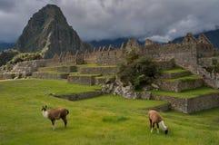 Machu-Picchu lames Stock Photos