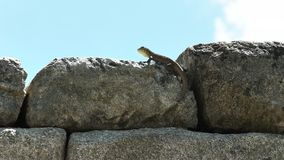 A machu picchu lizard on a stone wall