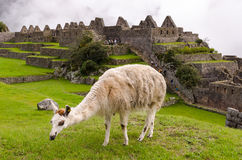 Machu Picchu. Llama in Machu Picchu, Peru Stock Images