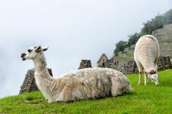 Machu Picchu. Llama in Machu Picchu, Peru royalty free stock photography