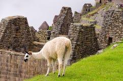 Machu Picchu. Llama in Machu Picchu, Peru stock photo