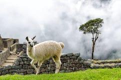 Machu Picchu. Llama in Machu Picchu, Peru stock photos