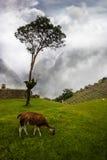 Machu Picchu. A llama in Machu Picchu, Peru Royalty Free Stock Photography