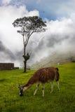 Machu Picchu. A llama in Machu Picchu, Peru Stock Images