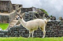Machu Picchu. Llama in Machu Picchu, Peru stock image