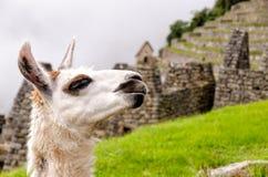 Machu Picchu. Llama in Machu Picchu, Peru Royalty Free Stock Photo
