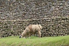 Machu Picchu Llama Royalty Free Stock Images