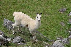 Machu Picchu Llama Royalty Free Stock Photo