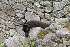 Machu Picchu Llama Royalty Free Stock Image