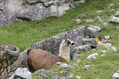 Machu Picchu Llama Stock Photo