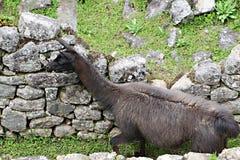 Machu Picchu Llama Royalty Free Stock Photography