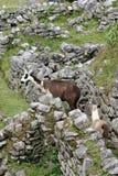 Machu Picchu Llama Royalty Free Stock Photos