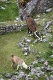 Machu Picchu Llama Stock Photography