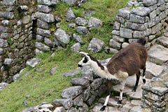 Machu Picchu Llama Stock Photos