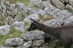 Machu Picchu Llama Stock Images