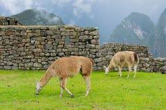Machu Picchu, llamas eating grass, Peru, 02/08/2019 royalty free stock image