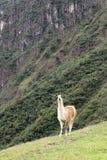 Machu Picchu Peru Llama Fotografia Stock Libera da Diritti