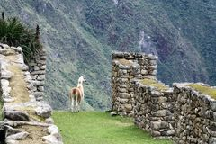 Machu Picchu Peru Llama. Llama at UNESCO World Heritage Site in Latin America and the Caribbean. Machu Picchu is a 15th-century Inca citadel situated on a royalty free stock image