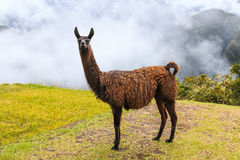 Machu Picchu, Peru. The llama at the UNESCO World Heritage Site Stock Images