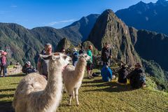 Lamas at Machu Picchu ruins royalty free stock photos