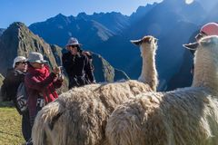 Lamas at Machu Picchu ruins. MACHU PICCHU, PERU - MAY 18, 2015: Tourists take pictures of lamas at Machu Picchu ruins, Peru stock photo