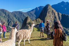 Lamas at Machu Picchu ruins stock photo