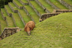 Machu Picchu Peruwiańska lama Obraz Stock