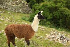 Machu Picchu Peruwiańska lama Zdjęcia Royalty Free