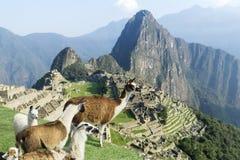 Machu Picchu ruins lama herd Royalty Free Stock Photo