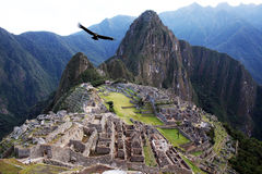 The machu pichu. A condor is flying on machu pichu ruins in peru Stock Images