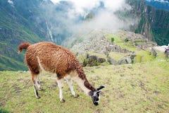 machuperu för stad llama förlorad picchu Arkivfoton