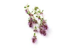 Macierzanka, Thymus kwiat odizolowywający na bielu Obrazy Royalty Free