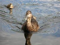 Macierzyści kaczek prowadzenia, Algonquin park, Ontario, Kanada Zdjęcie Royalty Free