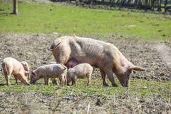 Macierzysta świnia z jej prosiaczkami na łące je rolnego rolnictwa pora obraz stock