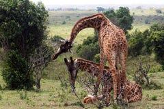 Macierzysta żyrafa zdjęcia stock