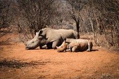 Macierzysta Biała nosorożec z jej dziecko nosorożec Zdjęcie Royalty Free
