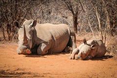 Macierzysta Biała nosorożec z jej dziecko nosorożec Fotografia Stock
