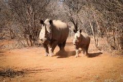 Macierzysta Biała nosorożec z jej dziecko nosorożec Obrazy Stock