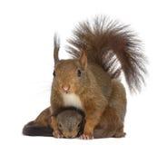 Macierzysta Czerwona wiewiórka i dzieci fotografia royalty free