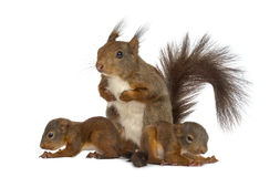 Macierzysta Czerwona wiewiórka i dzieci Obraz Stock