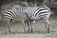 macierzysta dziecko zebra Obrazy Stock