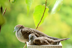 Macierzysta Dzika zebry gołąbka i Jej dziecko Relaksująca strona popieramy kogoś na plantatorze przy Balkonowym Małym ogródem - o Zdjęcia Stock
