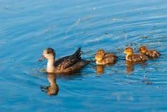 Macierzysta kaczka i kaczątka Zdjęcia Royalty Free