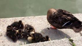 Macierzysta kaczka spał obok jej dzieci stoi na jeden nodze zdjęcie wideo
