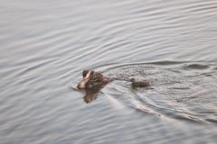 Macierzysta kaczka z kaczątkami Obrazy Stock