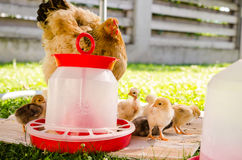 Macierzysta karmazynka i mali kurczątka Fotografia Royalty Free