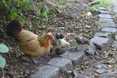 Macierzysta karmazynka z jej kurczątkami Zdjęcie Stock