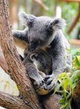Macierzysta koala z jej dzieckiem Zdjęcia Stock